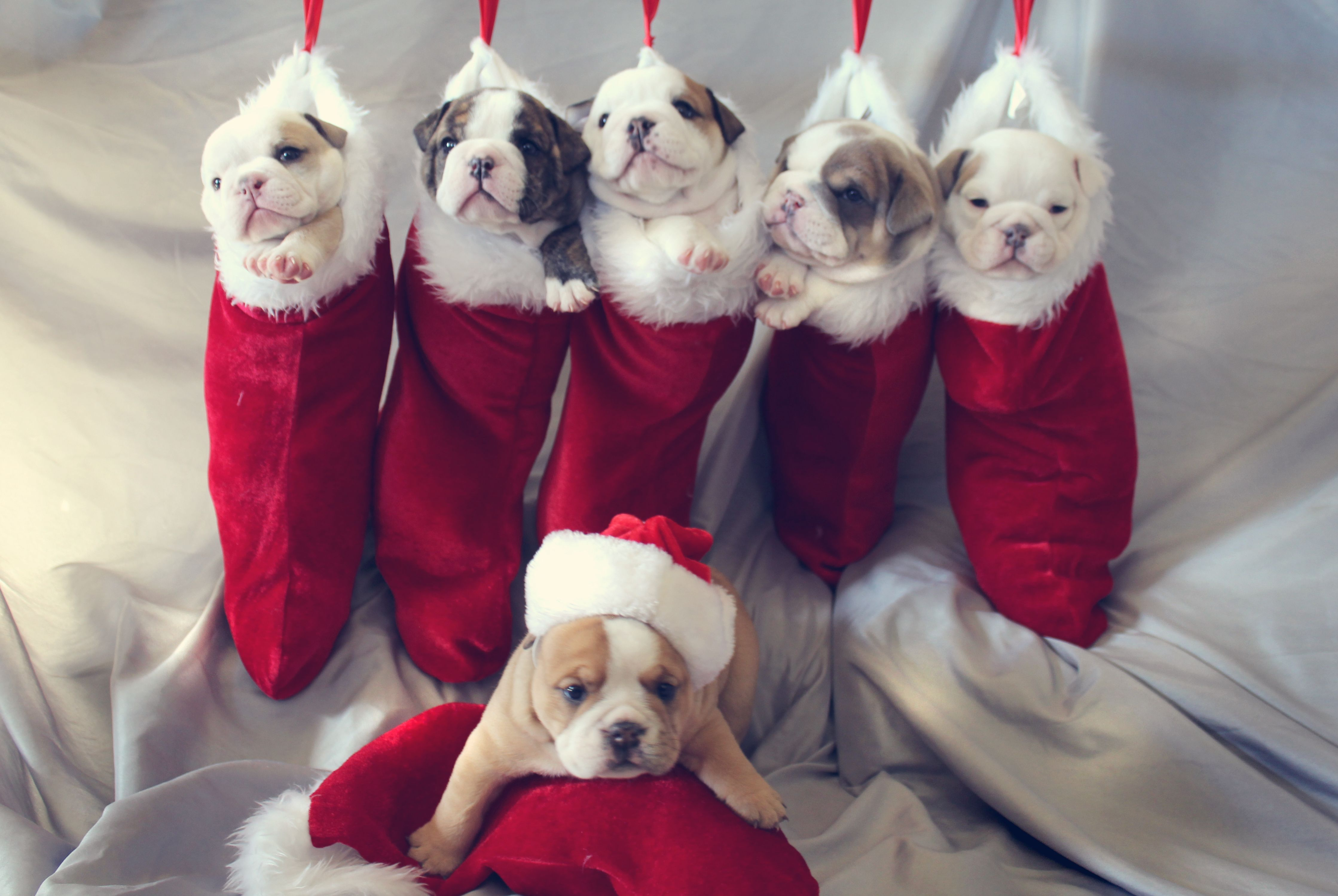 Cute Christmas Puppies.Cutest Christmas English Bulldog Puppies Bull Dogs