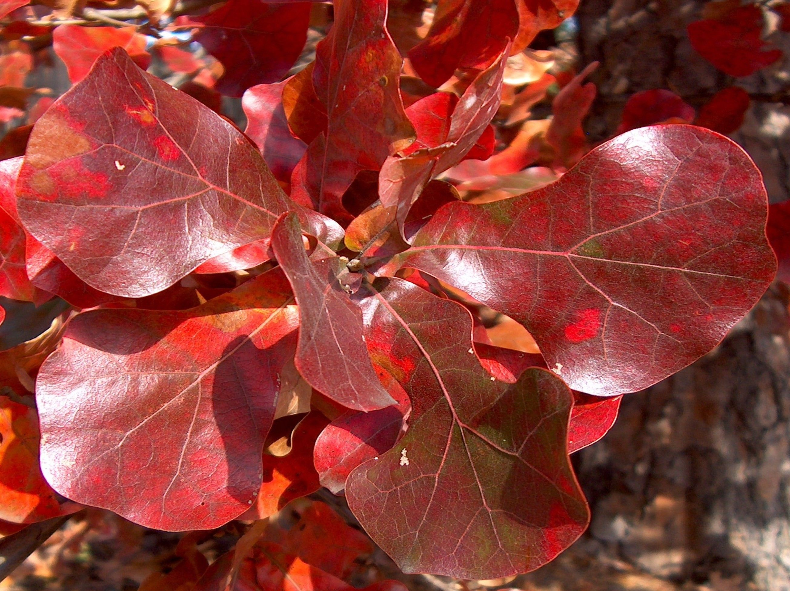 Online Plant Guide Quercus Marilandica Blackjack Oak Drought Tolerant Trees Plant Leaves Plants
