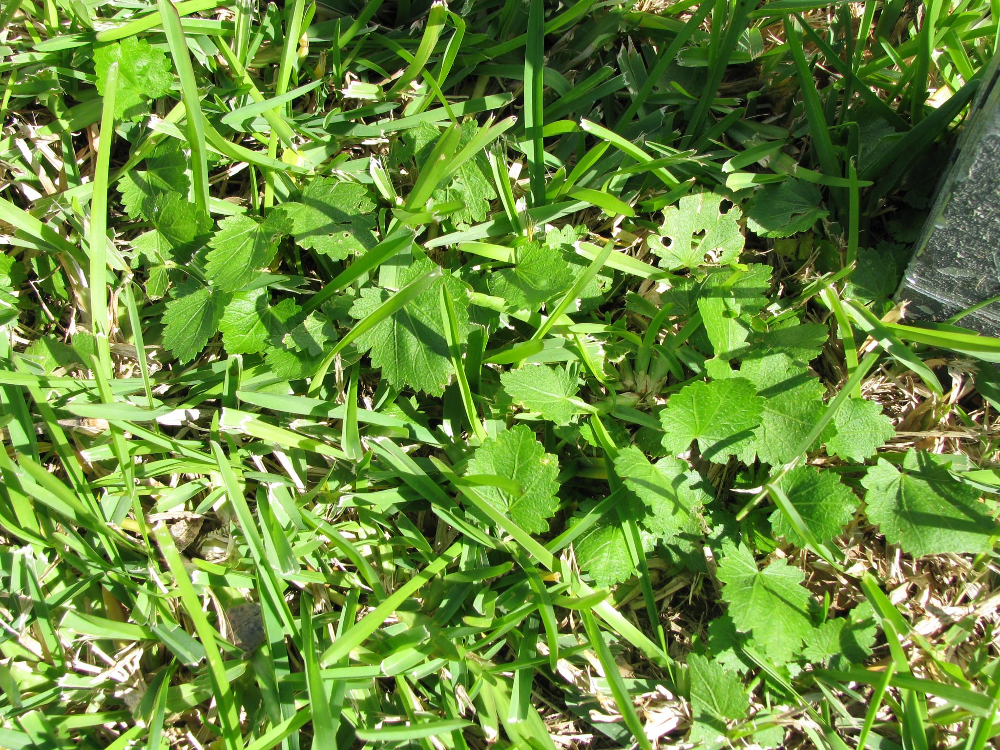 Bristly mallow identifying weeds pinterest lawn care
