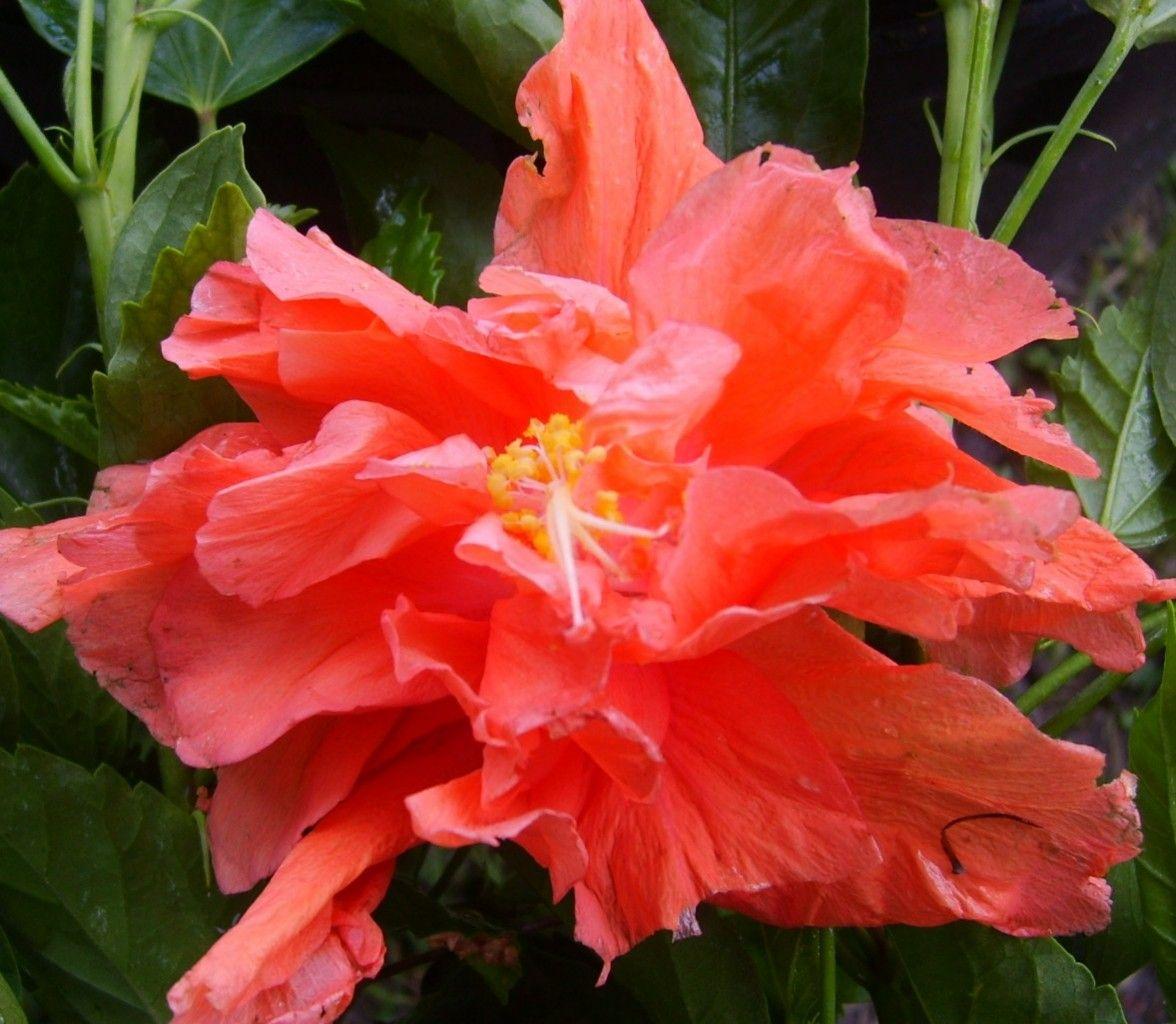Hibiscus plant tropical double orange jane cowl bargain multi pack hibiscus plant tropical double orange jane cowl bargain multi pack starter plugs izmirmasajfo Image collections
