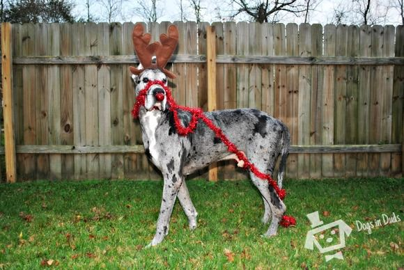 It S Hank Brianna Sheldon Christmas Dog Costume Dog Christmas