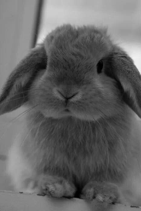 Cute gray lop eared bunny | Beanie Bunny | Pinterest ...