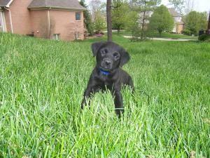 Adopt Bass On Petfinder Black Labrador Retriever Labrador Retriever Black Lab Puppies