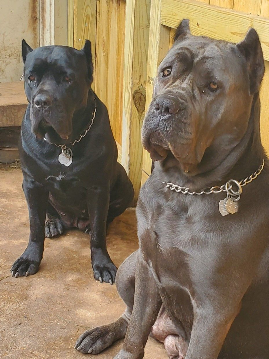Pin by Otis sadler on Dog Dogs, Animals, Pitbulls