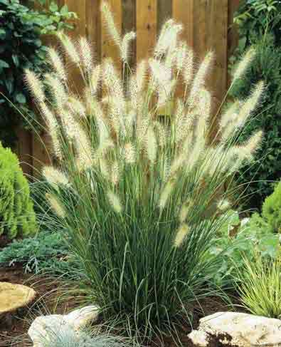 Hameln dwarf fountain grass full sun 24 high great for Small decorative grasses