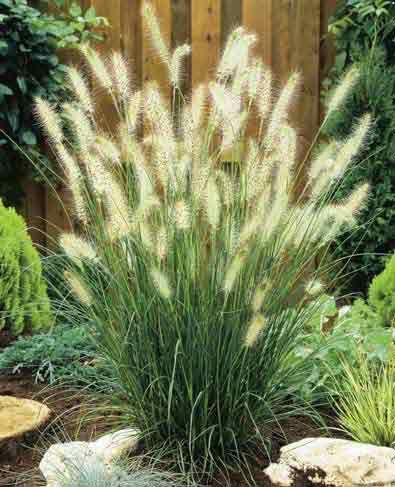 """Hameln Dwarf Fountain Grass, full sun, 24"""" high, great ..."""