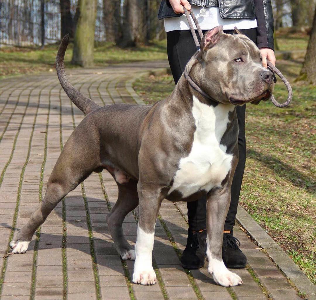 Dog, Pitbull, Pit, Dogs, TShirt, Dog TShirt, Dogs TShirt