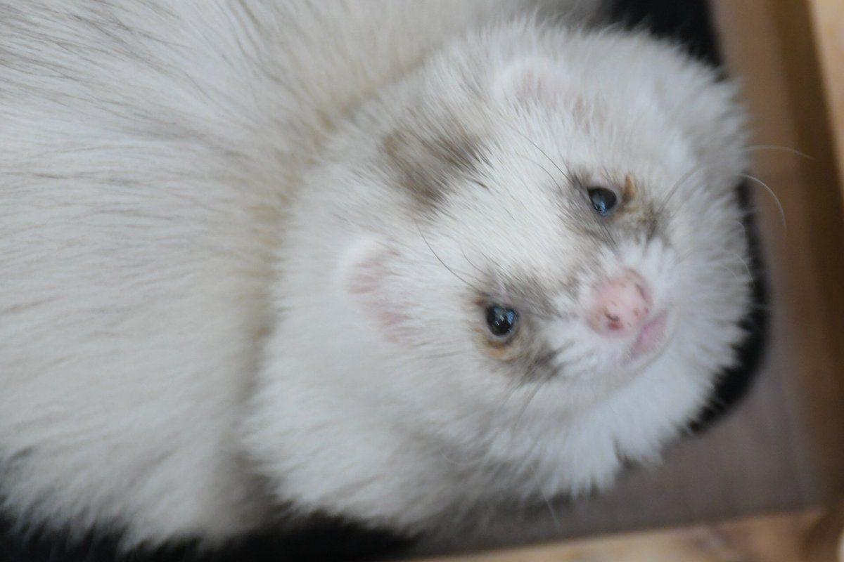 ふわぁふわぁファーファーム アンゴラフェレットの特徴 価格 性格 体型 エキゾチックアニマル 可愛すぎる動物 動物 かわいい