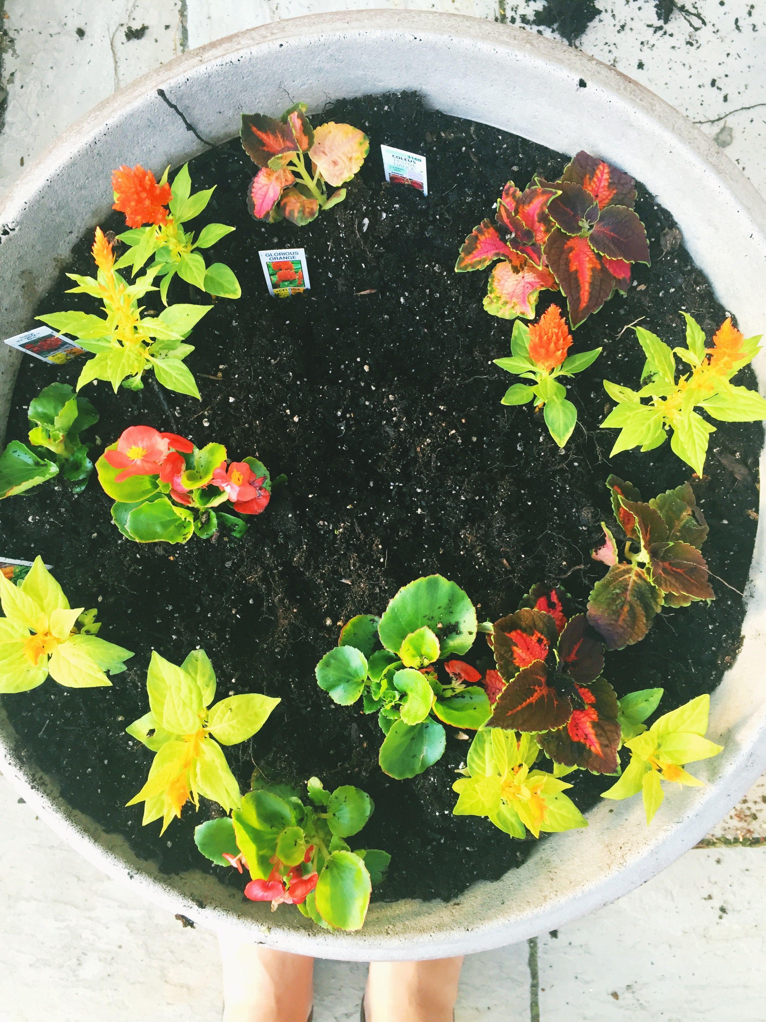 Wisconsin Gardener | #begonia