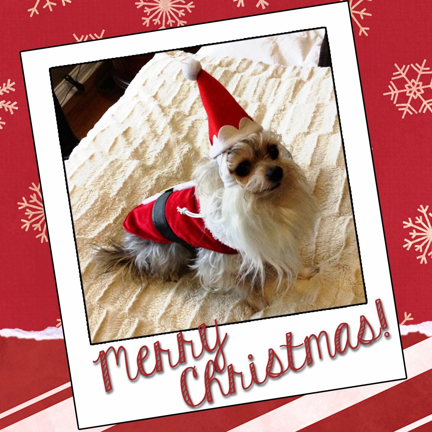 Loki in Santa costume and ready for #Christmas.