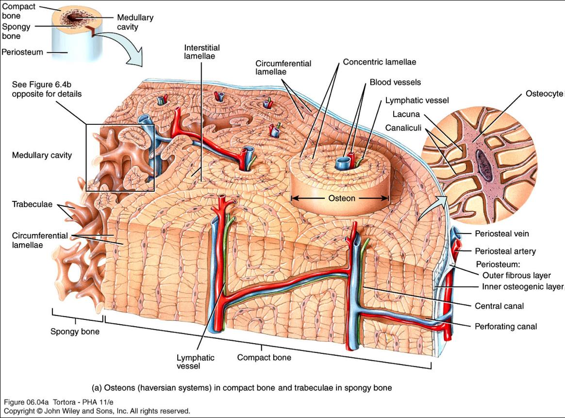Coxal Bone Diagram Msd Ignition Digital 6a Anleitung Tissue Anatomy Google Search Bones And Brawn