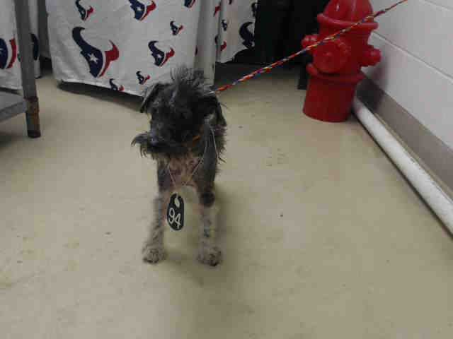 This Dog Id A465643 Urgent Harris County Animal Shelter In