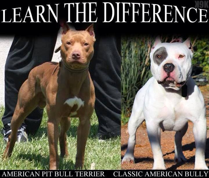 Pin By Los T On The Bull Terrier Family Pitbull Terrier Bully