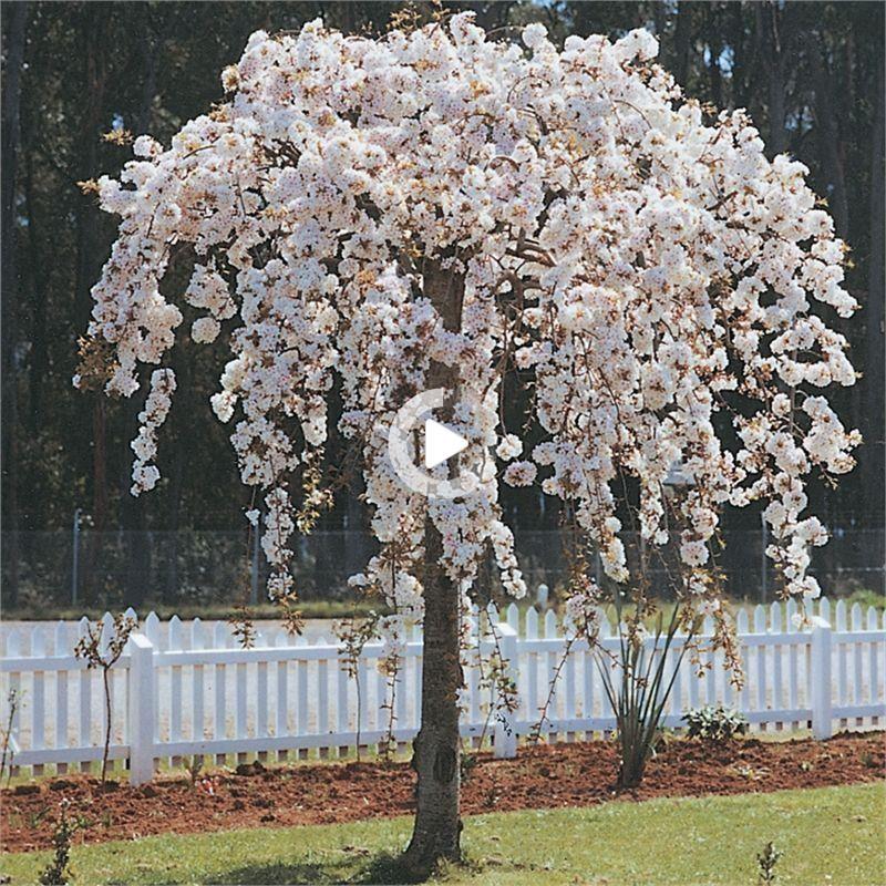 Girl Teenager Bedroom Ideas Shelves Nicheh In 2021 Weeping Cherry Tree Weeping Trees Prunus