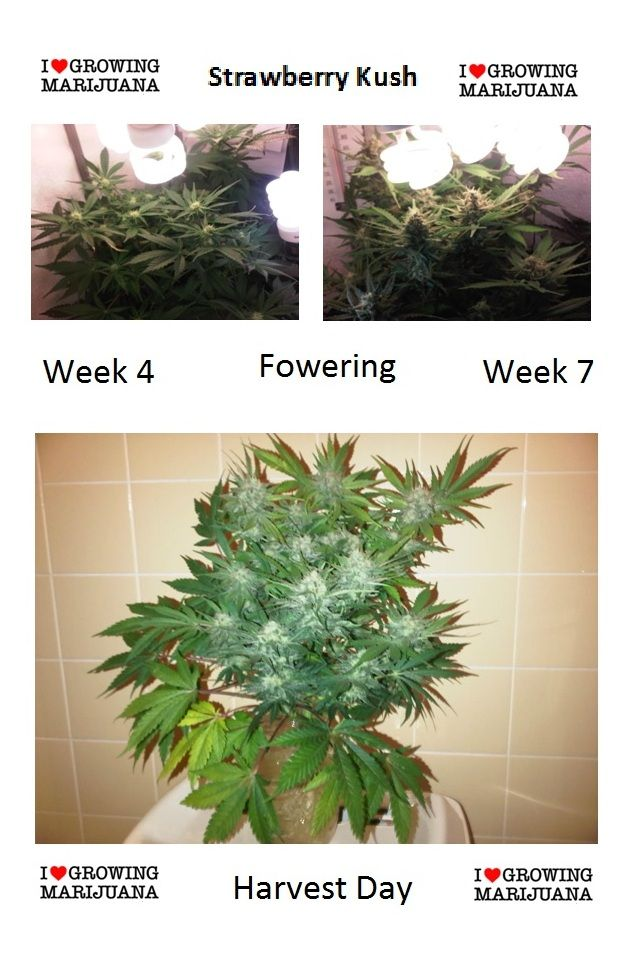 Pin by Seedzzz © on Cannabis Reviews & Grow Tips | Cannabis