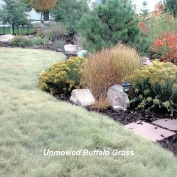 @Sally Robbins Alex would probably like this... buffalo grass lawn. xeriscape.