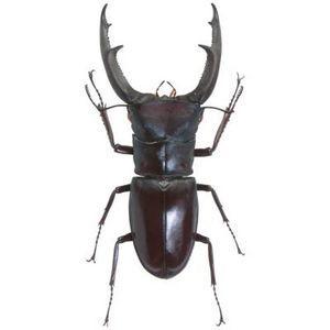 How To Identify Black Beetles In Northeastern Usa Black Beetle Beetle Black Carpet