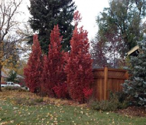 Oak Crimson Spire In Fall Great To Screen Neighbors Next