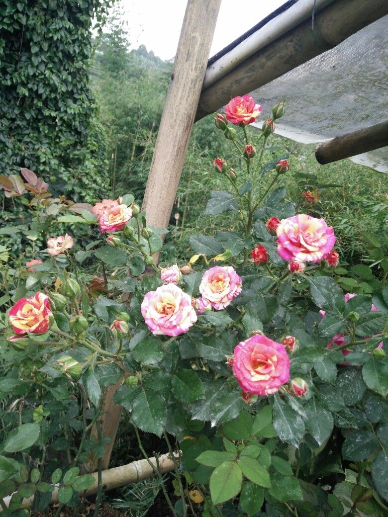 Very beautiful isnt it rose flower preserved roses very beautiful isnt it rose flower izmirmasajfo