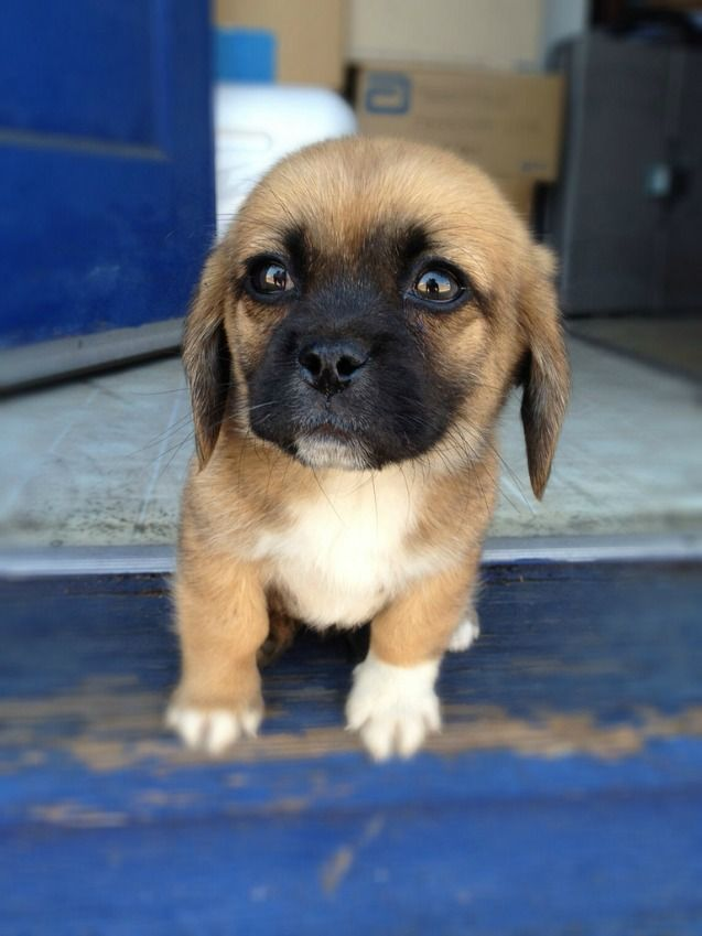 Peagle Dog Breeds Mixed Breed Dogs Puppies