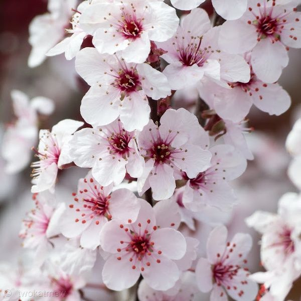 I Finally Got A Close Up Of The Blossoms On My Purple Sand Cherry It Blooms For About A Minute Each Spring Cherry Blossom Japanese Cherry Blossom Blossom