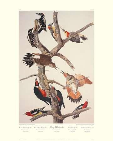 Hairy Woodpecker (decorative border)