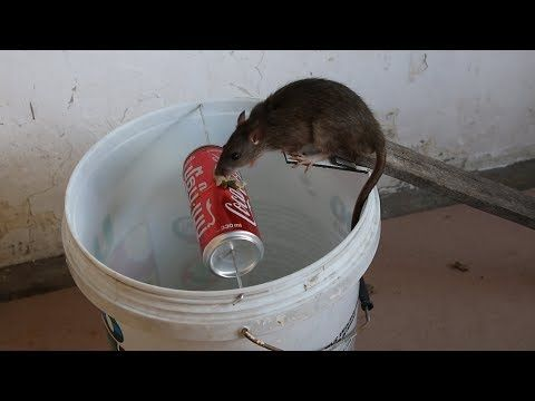 Trampa para ratas casera - YouTube | Autosuficiencia y trucos ...