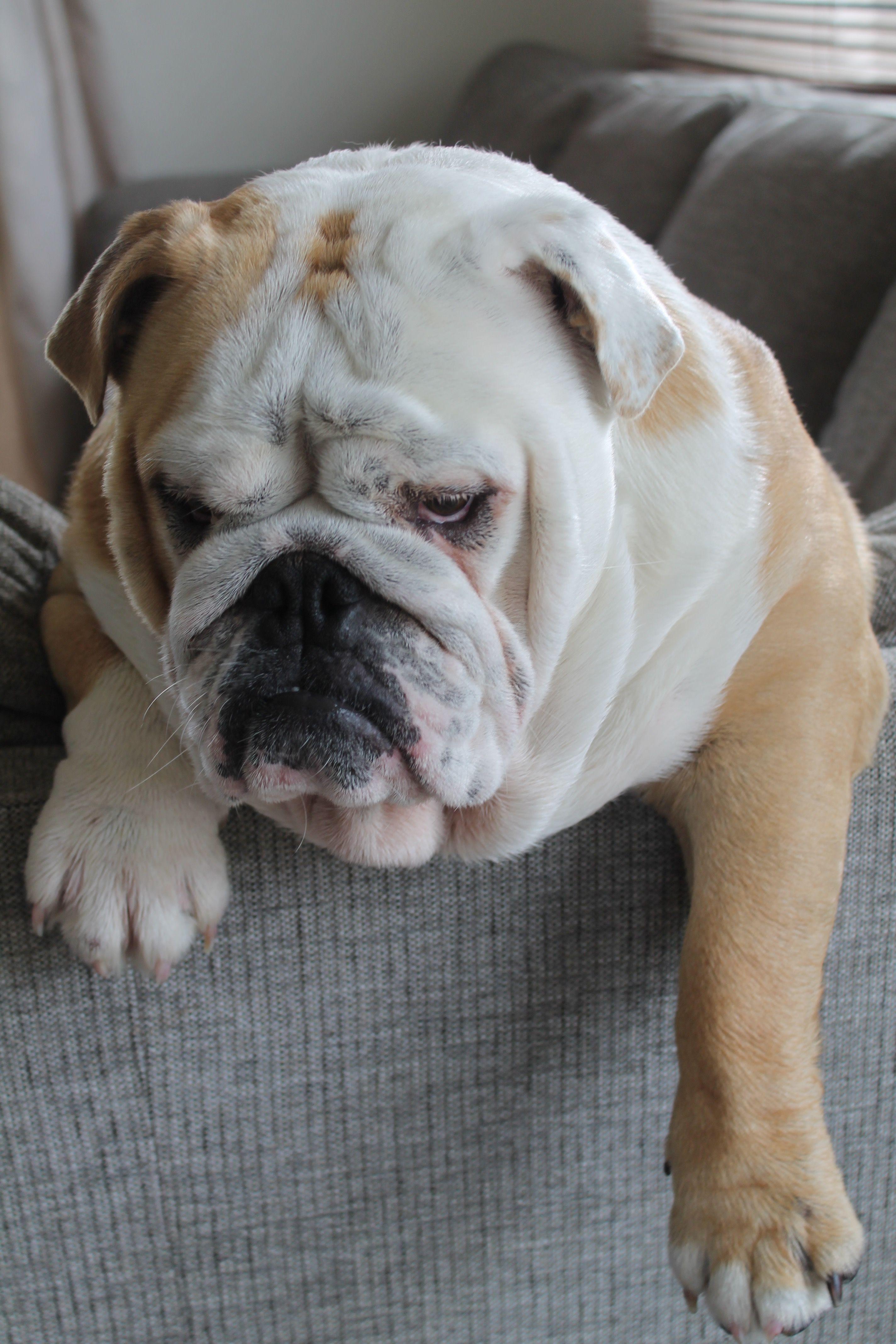 bulldog relaxing couch britishbulldog cute Bulldog