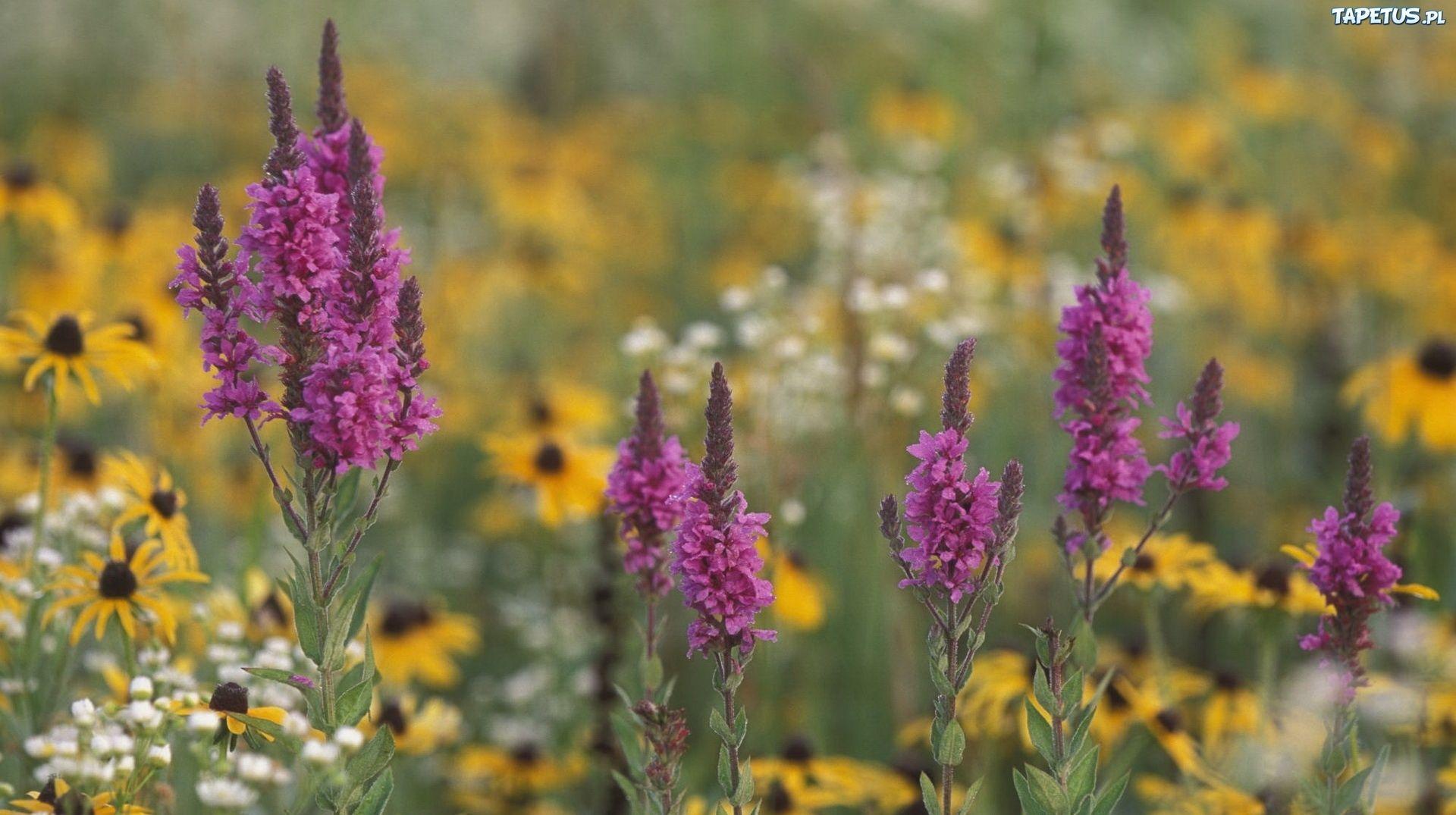 Laka Kwiaty Polne Tapety Wild Flowers Scenery Pictures Purple Loosestrife
