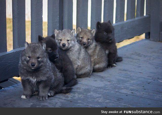 50% wolf, 50% husky, 100% cute