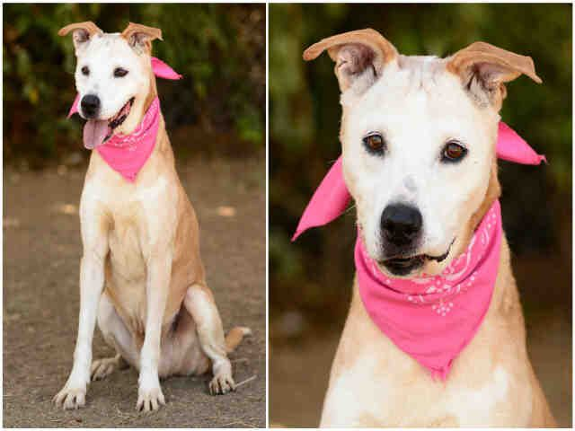 Dingo Urgent Los Angeles Animal Services West Valley Shelter In Chatsworth Ca Adopt Or Foster 13 Year Old Spayed Female Lab Dog Adoption Animals Pets