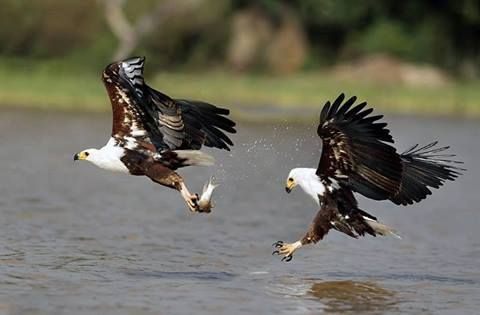Splendid Fish eagles in action  Visit our Page -►Wildlife and Nature Pictures  ◄- For more photos