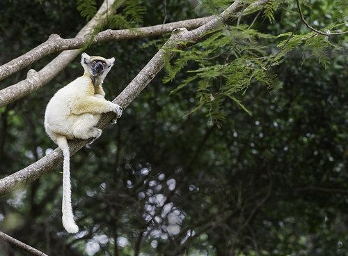 Golden-crowned Sifaka | Flickr - Photo Sharing!
