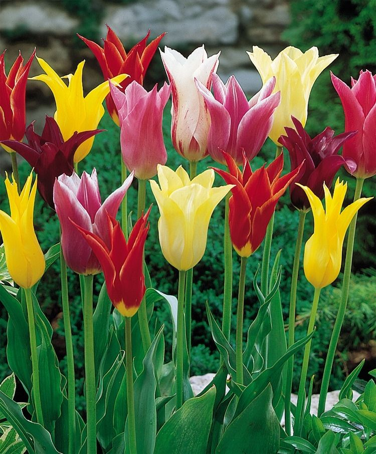 The Lily Flowering Tulip Mix Tulip Mixtures Tulips Flower Bulb Index Bulb Flowers Tulips Flowers Flowers