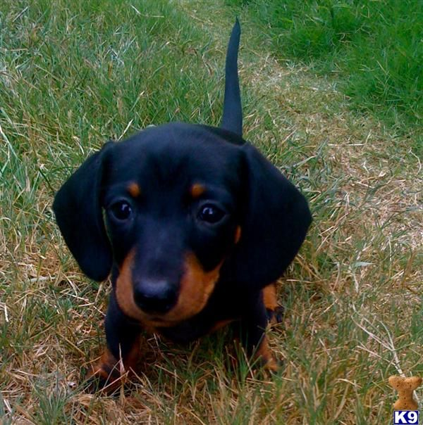 Little dachshund guy