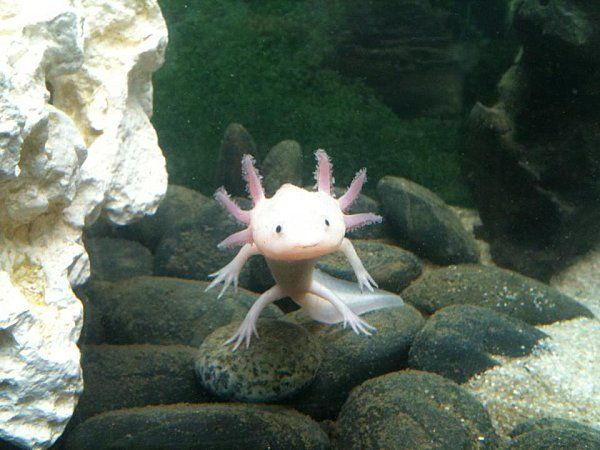 Axolotl 3 Lovely Creatures Cute Baby Animals Cute Animals