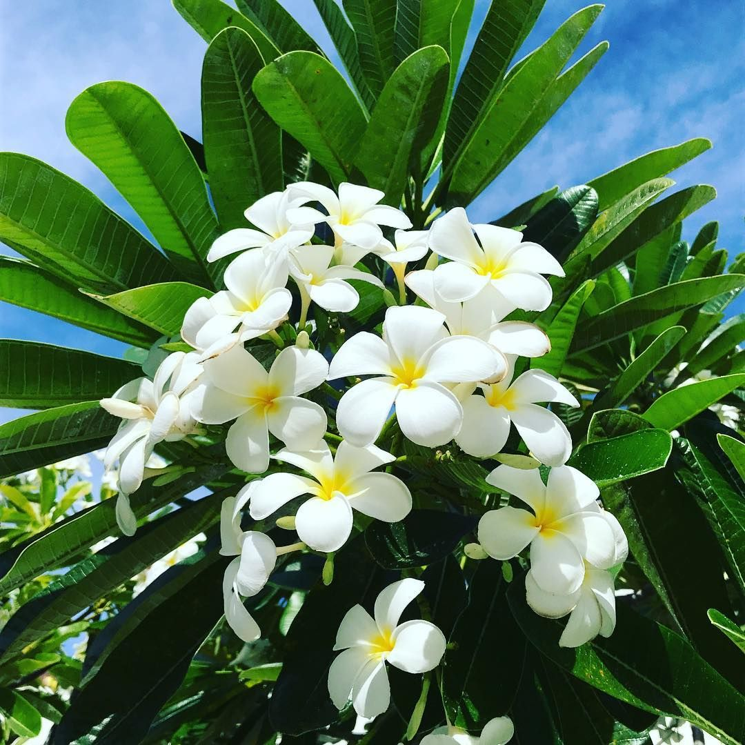 Everything About Plumeria Flower Pinterest Flower Flowers And