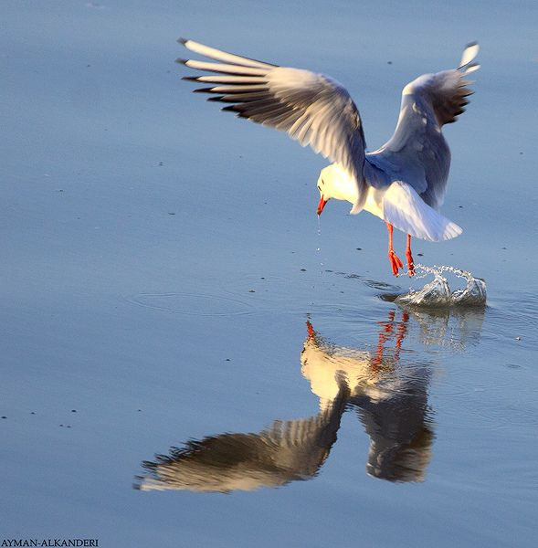 Gull طائر النورس Beautiful Birds Sea Birds Nature Birds