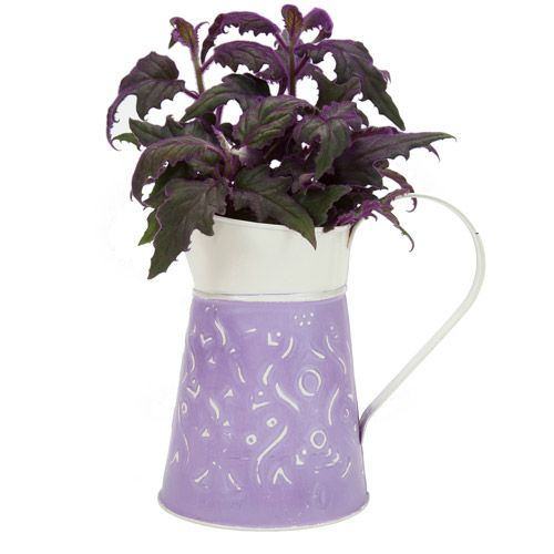 exotic angel plants 4 5 purple passion in purple playful pitcher pot gardening lawn care. Black Bedroom Furniture Sets. Home Design Ideas