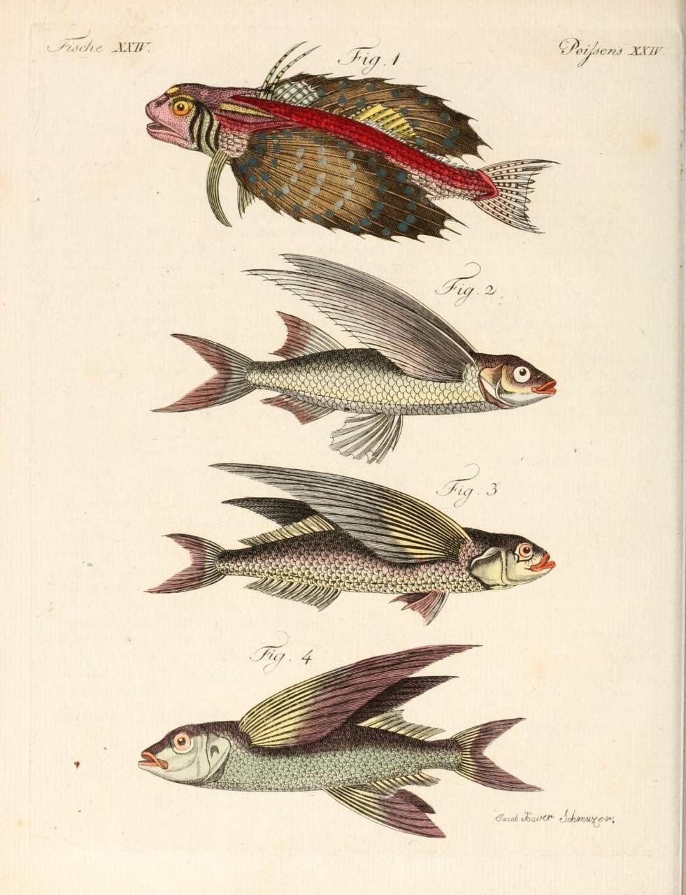 scientific illustration, flying fish, Frederich Bertuch, 1807 ...