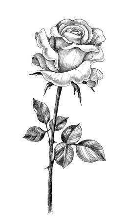 Photo of Hand drawn rose flower bud with leaves isolated on white background