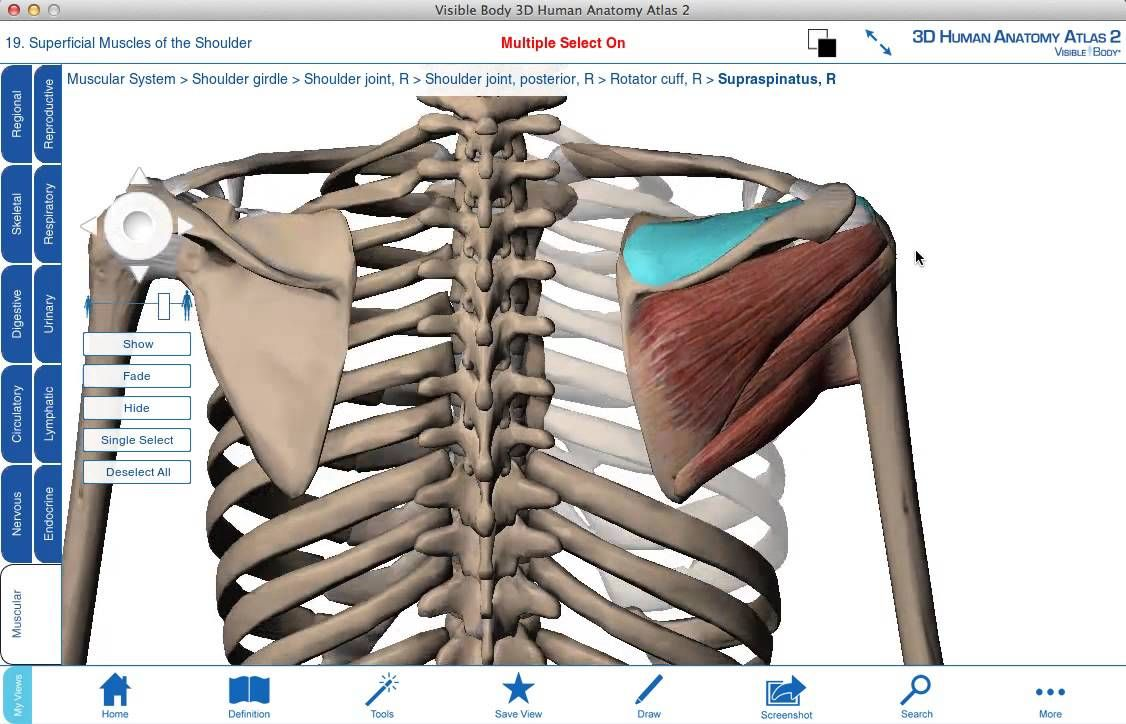 Rotator cuff muscles - 3D anatomy tutorial | Anatomy | Pinterest ...