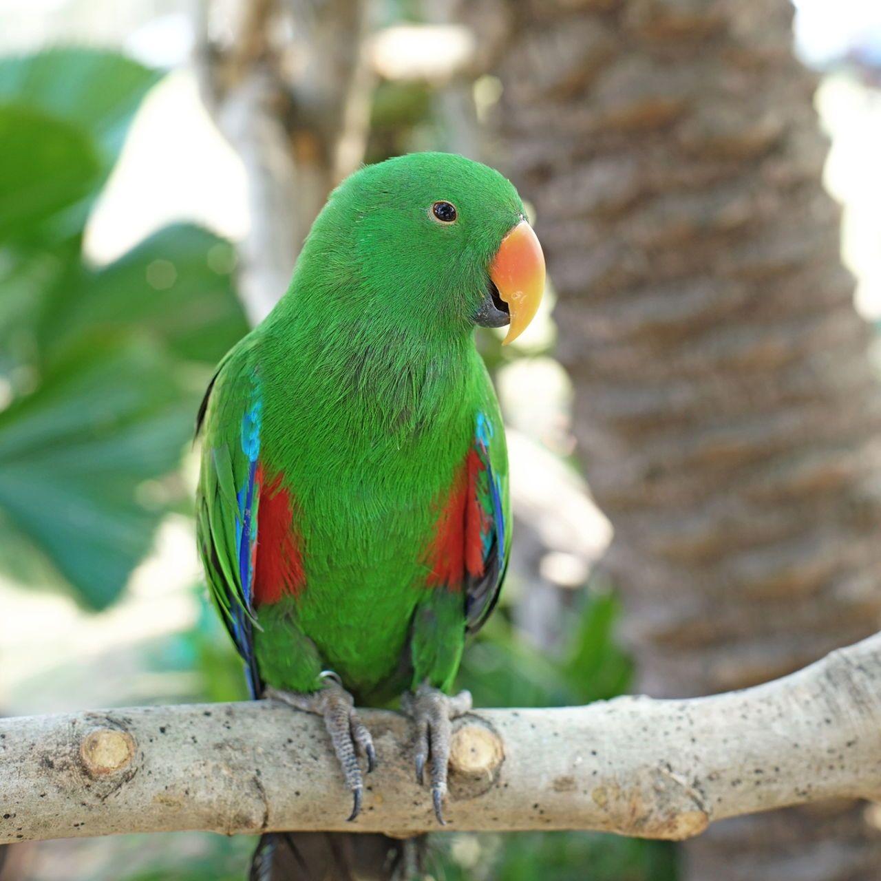 Eclectus Parrot Eclectus Roratus Parrot Beautiful Birds