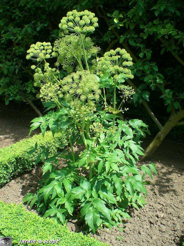 La plante de l 39 archange gabriel ang lique officinale for Plante angelique