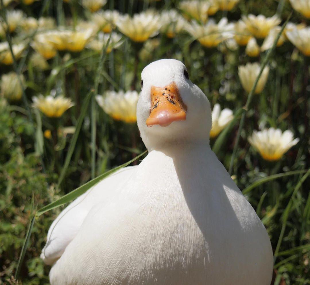 Pin De Aiiinaѕ Em Animals Em 2020 Animais Fofos Animais Patos