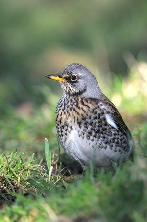 Listen for the fieldfare's chuckling call as it takes flight  (Photo