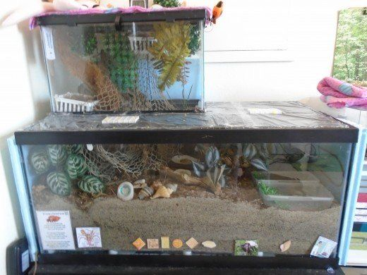 Hermit Crab Care Facts And Myths Hermit Crab Habitat