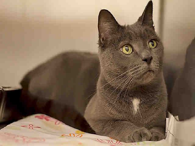 Adopted Blue Handsome Russian Blue Gent Pittsburgh Pa Petharbor Com Animal Shelter Adopt A Pet Dogs Cats Puppies Kitten Animal Shelter Cats Kittens