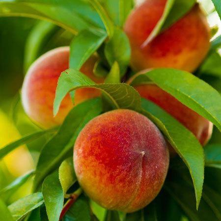 Elberta Peach Tree Peach Tree Care Peach Trees Fruit Cocktail Tree