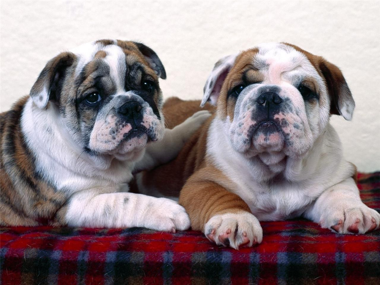 Details About Bulldog Puppy Buddies Glossy Poster Picture Photo